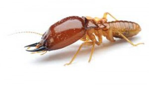 Get Rid From Termite